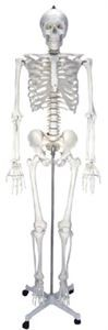 Mulaj schelet uman – marime naturala